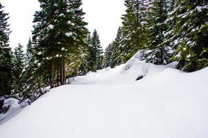 Pins et neige près de Cima Larici sur le plateau d'Asiago, Vicence, Italie photo