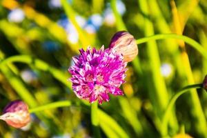 rose alium à asiago photo