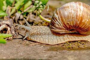 escargot rampe sur une pierre au soleil photo