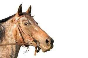 Portrait de cheval d'un quart de cheval isolé sur blanc photo