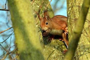L'écureuil est assis avec un écrou dans sa bouche dans une fourche de branche photo