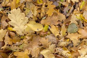 Feuilles de chêne et de hêtre colorés d'automne plein cadre comme arrière-plan photo