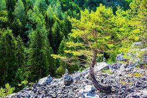 arbre près du lac tovel dans le parc naturel adamello photo