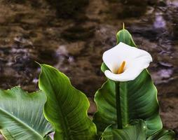 Belle calla au premier plan sur un ruisseau à Padoue photo