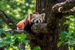 panda roux au repos photo