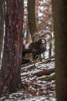 mouflon à l'état sauvage photo