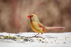 une femelle cardinal nordique sur un rocher photo