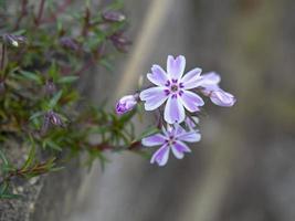 Gros plan de délicates fleurs de phlox rampant violet photo