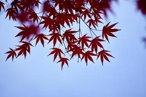 feuilles d'arbre rouge en saison d'automne photo