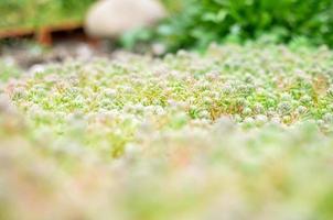 Sedum stonecrop espagnol gros plan en été photo