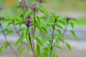 De plus en plus de feuilles de basilic frais feuilles de basilic vert prêts à goûter les savoureuses recettes de cuisine fond d'herbes photo
