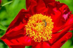 Pivoine arborescente en fleurs dans le jardin au printemps macro photo