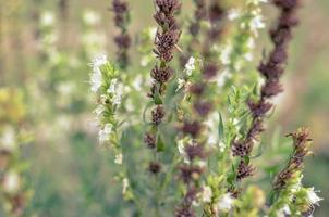 Thymus serpyllum fleurit dans le jardin agrandi photo