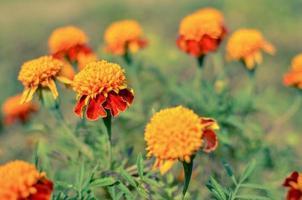 Close up de belle fleur de souci tagetes erecta aztèque mexicain ou souci africain dans le jardin macro de souci en parterre de fleurs journée ensoleillée photo