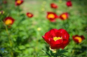 Pivoine arborescente en fleurs dans le jardin au printemps photo