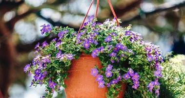 herbes aux yeux bleus dans le pot de fleurs photo