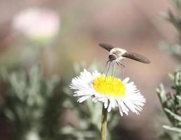 Fuzzy bee fly collecte du pollen avec sa trompe d'un aster blanc et jaune photo