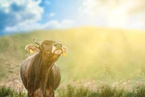 Taureau sur une prairie verte sous un ciel bleu nuageux photo