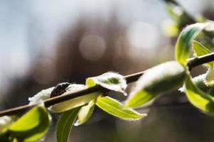 coléoptère jaune à pois noirs photo