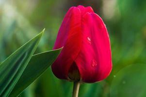 Gros plan de tulipe avec des pétales rouges et des feuilles vertes photo