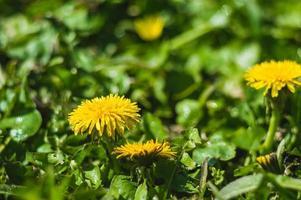 Gros plan de pissenlits jaunes sur fond flou photo