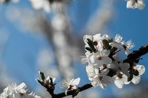 fleurs de prunier cerisier aux pétales blancs photo
