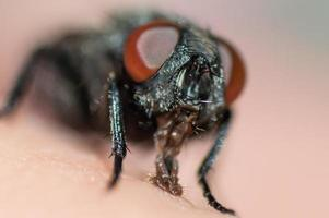 Visage de mouche avec de grands yeux rouges en macro photo