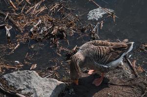 Troupeau d'oies sauvages mangeant dans la rivière sale photo