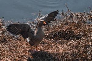oie sauvage sur les berges de la rivière aux ailes levées photo