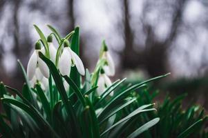 Perce-neige blanc gros plan avec arrière-plan flou photo