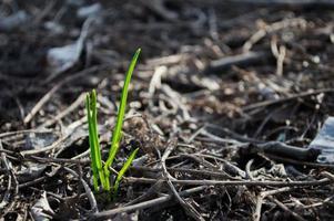la première herbe verte pousse à partir du sol photo