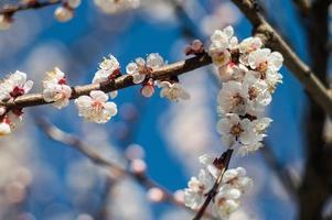 fleurs d'abricot aux pétales blancs et rouges photo