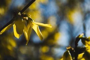 premières fleurs jaunes de forsythia gros plan photo