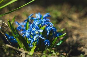 Gros plan de fleurs scilla bleu sur fond flou photo