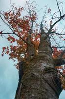 arbres à feuilles rouges en automne photo