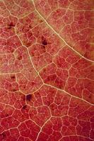 feuille d'érable rouge en automne fond rouge photo