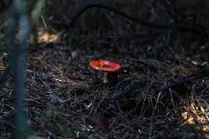 gros champignon dans la forêt photo