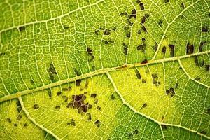 feuille verte veines fond vert photo