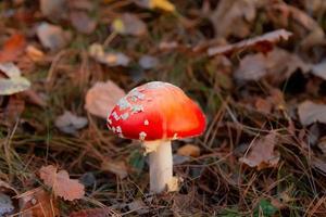 beau champignon vénéneux photo