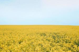 champ de colza en fleurs photo