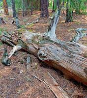 dans les bois une scène de rondins dans la forêt du côté nord du ruisseau du lac près du lac suttle ou photo