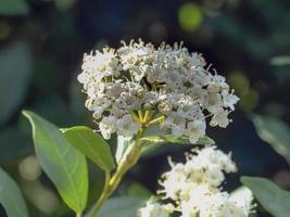 fleurs de viorne blanches et feuilles vertes au printemps photo