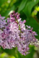 jolies fleurs de lilas violet en fleurs au soleil photo