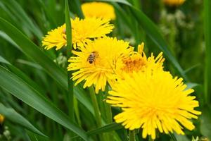 Pissenlits à fleurs jaunes taraxacum dans la prairie au printemps gros plan photo