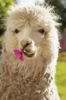 Lama portant sur la pelouse avec une fleur à Arequipa au Pérou photo