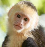 Portrait de singe capucin à tête blanche photo