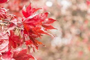 Érable sec et bokeh sur le côté droit à l'automne au parc national de Seoraksan en Corée du Sud photo