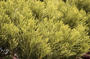 pins feuilles arbre photo