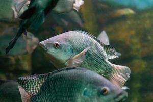 poissons d'aquarium sur fond de roches artificielles et de végétation photo
