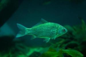 poisson jaune d'aquarium sur le fond de l'eau photo